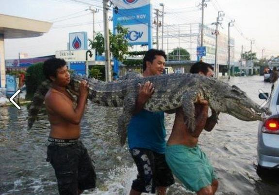 crocodile-carried-in-flood